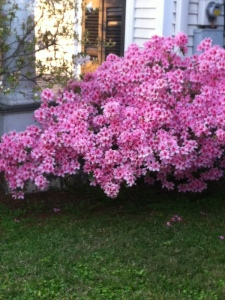 Glorious weather in New Orleans-Azaleas in full bloom.